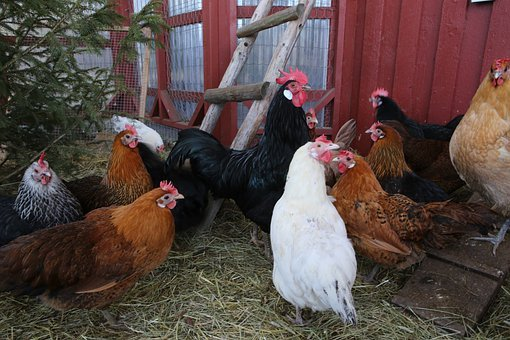 Quelles solutions existent pour acheter un poulailler en plastique pour 6 poules ?